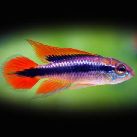 Apistogramma agassizi double red 3 - 4 cm