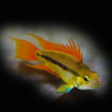 Apistogramma agassizi orange dorsal 3-4cm