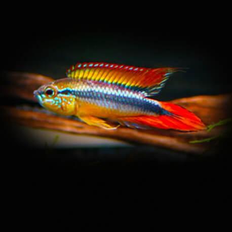 Apistogramma agassizi red dorsal 3 - 4,5 cm