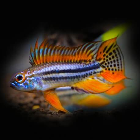 Apistogramma bitaeniata orange 3-3,5cm
