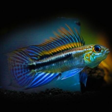 Apistogramma bitaeniata peru bleu 3-4cm