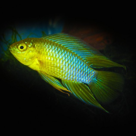 Apistogramma borelli - yellow head 3 - 4 cm