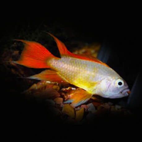 Apistogramma cacatuoides gold red 3 - 4 cm