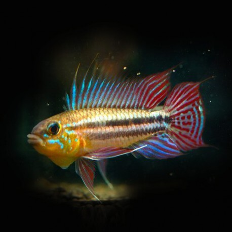 Apistogramma gephyra red tail 3 - 4 cm