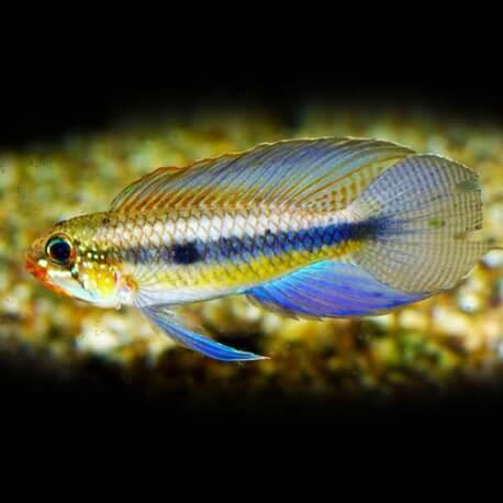 Apistogramma iniridae atabapo f1 3-4,5cm