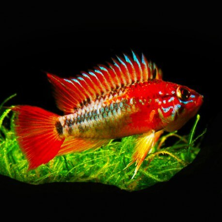 Apistogramma macmasteri red mask XL