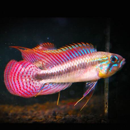 Apistogramma pulchra red tail f1 3-4,5cm