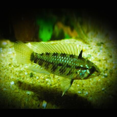 Apistogramma resticulosa red mask XL
