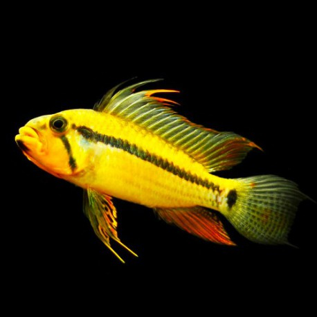 Apistogramma sp. black shin XL