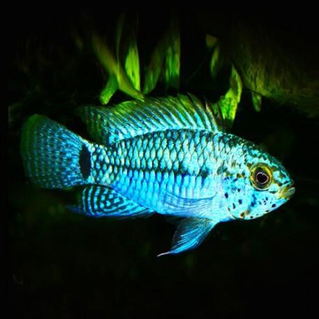 Apistogramma sp. blue head 3-4cm