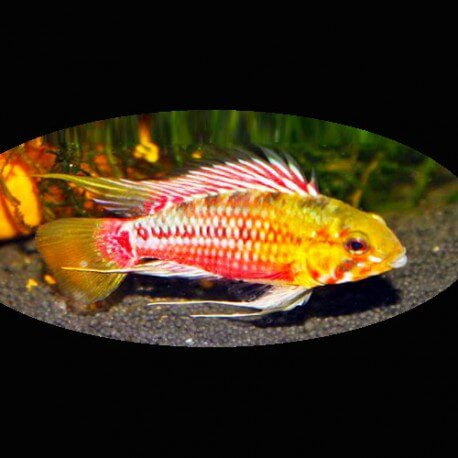Apistogramma sp. maciliensis super red L