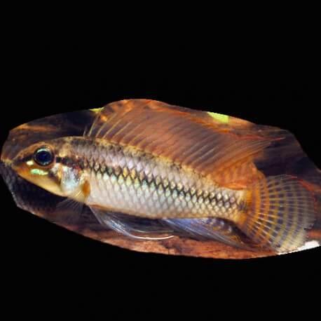 Apistogramma sp. pertensis yellow 3-4cm