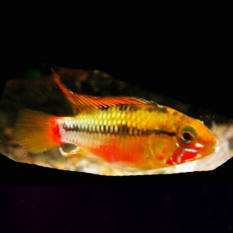Apistogramma sp. red stroke 3-4cm