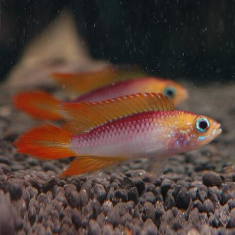 Apistogramma agassizi fire red XL
