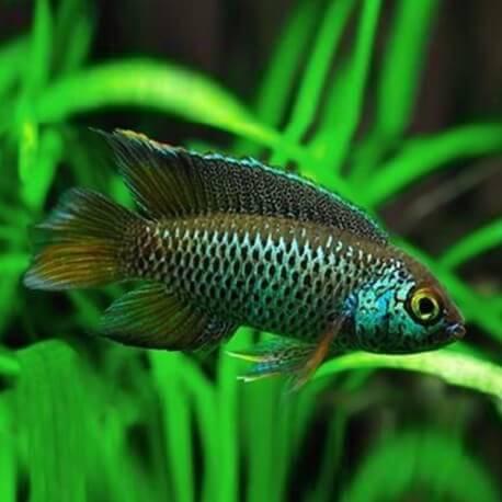 Nannacara anomala 3,5 - 4 cm