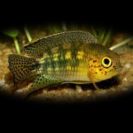 Nannacara aureocephalus 4-5cm