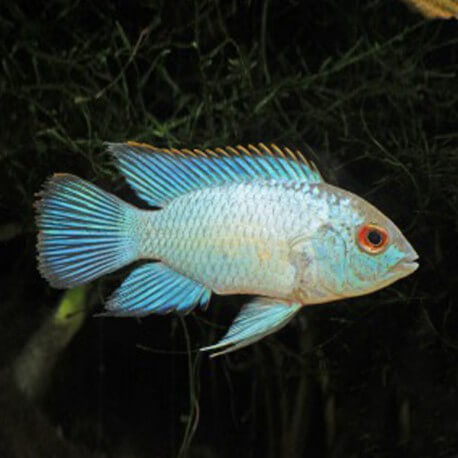 Nannacara sp. neon blue 4-6 cm