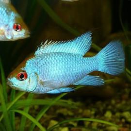 Papiliochromis ramirezi electric blue 3 - 3,5 cm