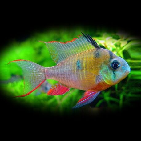 Papiliochromis altispinosa +7cm