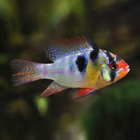 Papiliochromis ramirezi 3,0 -3,5 cm
