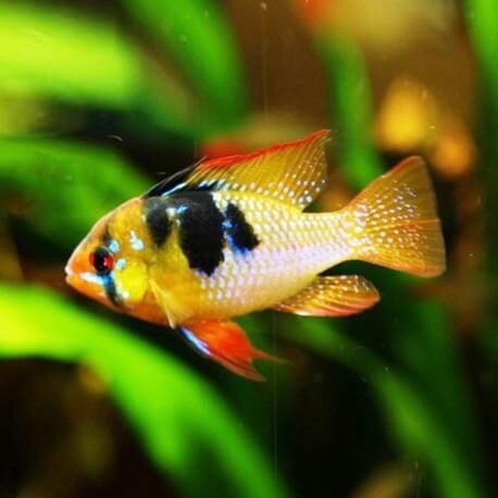 Papiliochromis ramirezi asia 3 - 3,5 cm