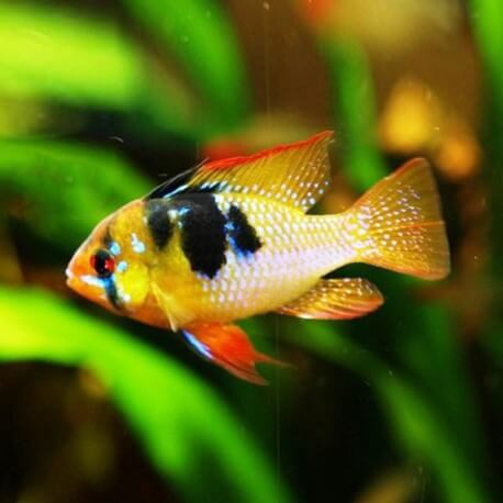 Papiliochromis ramirezi asia L