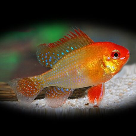Papiliochromis ramirezi gold l.f. 3-3,5cm