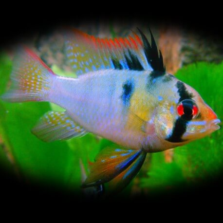 Papiliochromis ramirezi balloon electric blue gold head 2,5-3cm