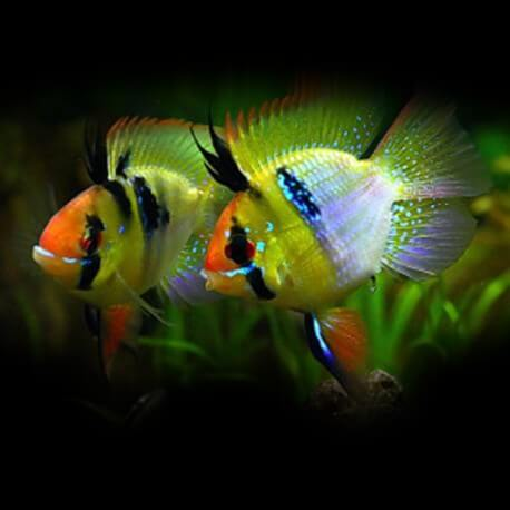 Papiliochromis ramirezi blue red head 2,5-3cm