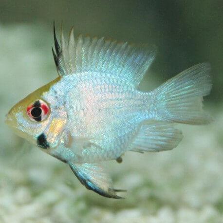 Papiliochromis ramirezi electric blue baloon 2,5 - 3,5 cm