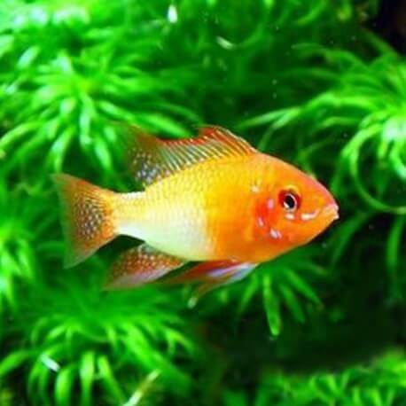 Papiliochromis ramirezi red-gold XL