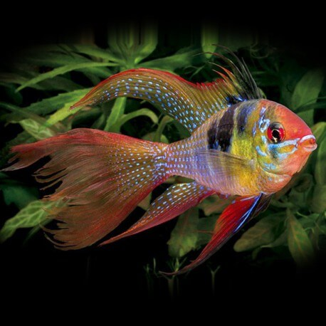 Papiliochromis ramirezi red-gold Long Fin 4-5cm