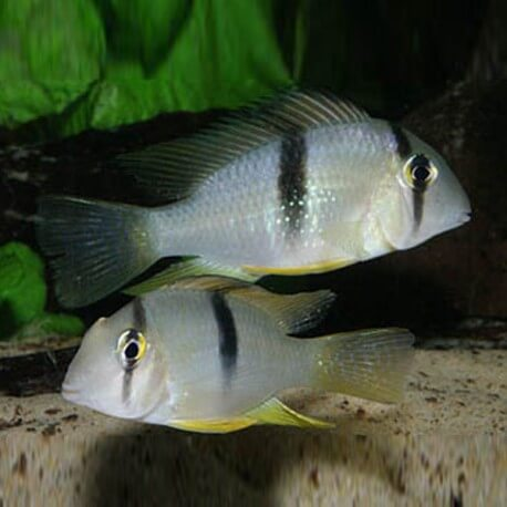 Acarichthys geayi 3,5-4,5cm