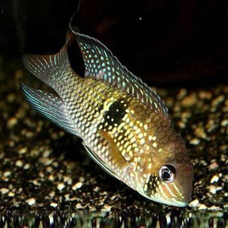 Aequidens sp. Macaraibo 4,5-5cm