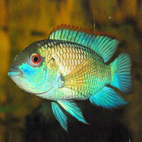 Andinoacara pulcher neon blue 4 - 5 cm