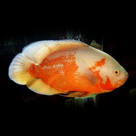 Astronotus ocellatus albino red 4-5 cm