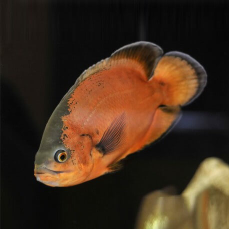 Astronotus ocellatus red oscar 5-6cm