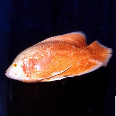Astronotus ocellatus red oscar albinos 6cm