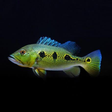 Cichla orinocensis 4-5 cm