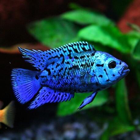 Cichlasoma blue jack dempsey 3,5-4,5 cm