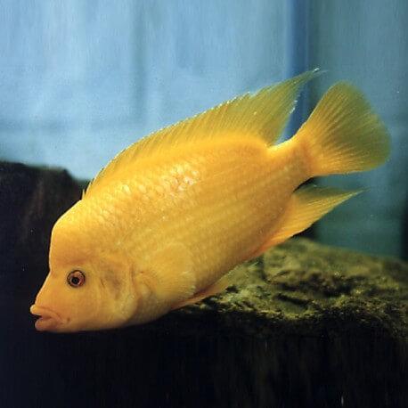 Cichlasoma citrinellum 4 - 5 cm