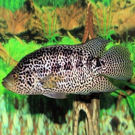 Cichlasoma managuense 4 - 5 cm