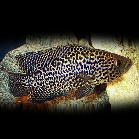 Cichlasoma managuense gold 4-5cm