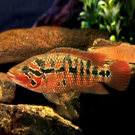 Cichlasoma motaguense 7-9cm