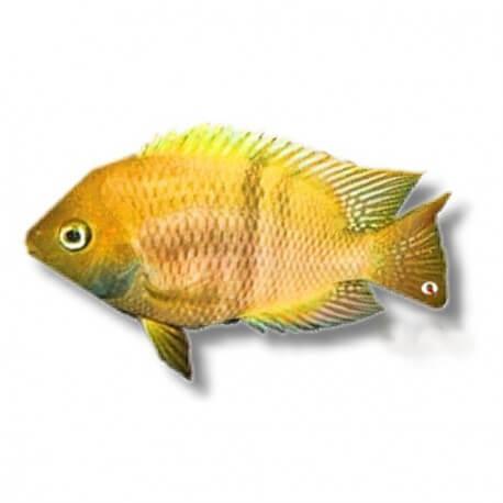 Cichlasoma sajica gold 3,5-4,5cm