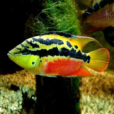Cichlasoma salvinii 5-6cm