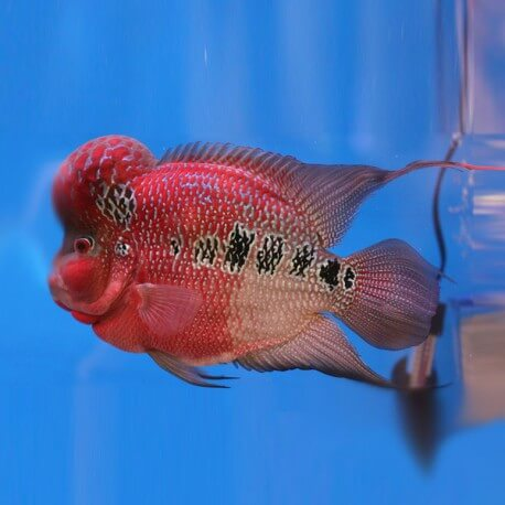 Cichlasoma sp. big head flowerhorn 10-15cm