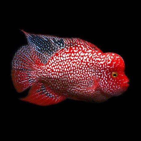 Cichlasoma sp. flowerhorn red Texas 3,5-4cm