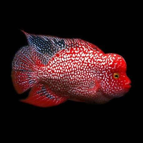 Cichlasoma sp. flowerhorn red Texas 12-13cm