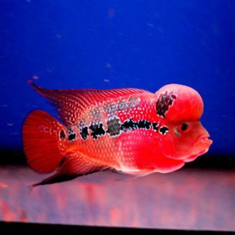 Cichlasoma sp. flowerhorn red kamfa 20cm